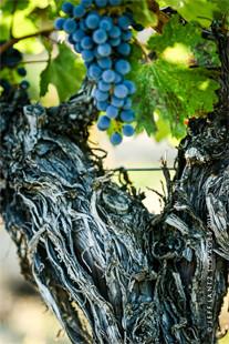 Winemaking Kit Singh