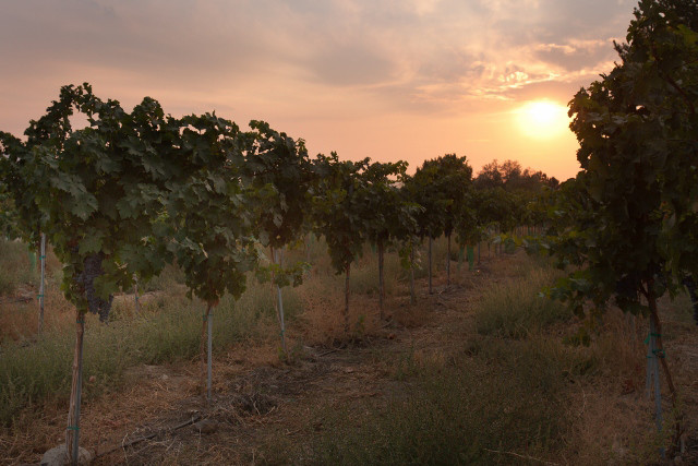 A scenic photograph of the Ambassador Vineyards